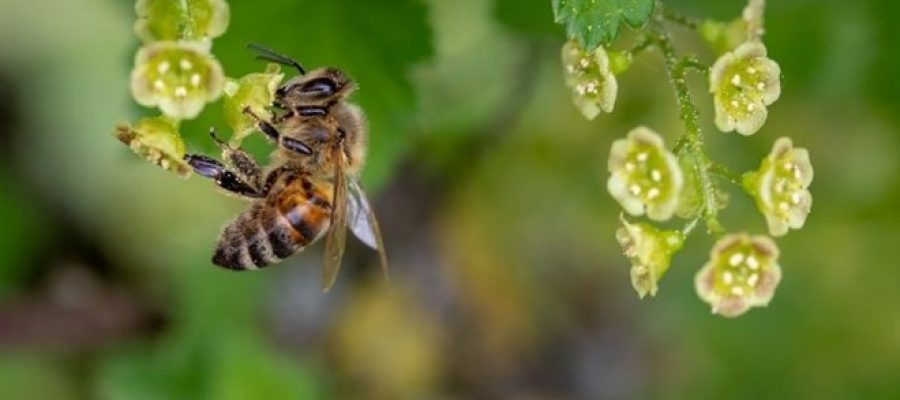 Rastline lahko slišijo brčanje čebel